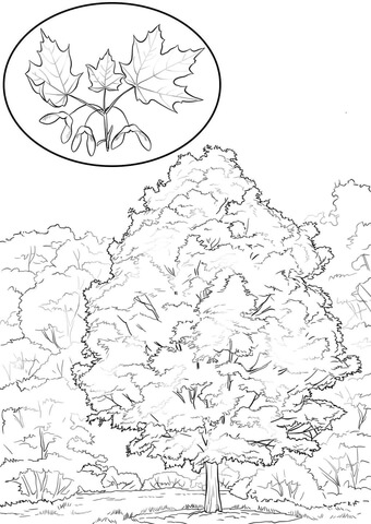 Sugar Maple coloring page