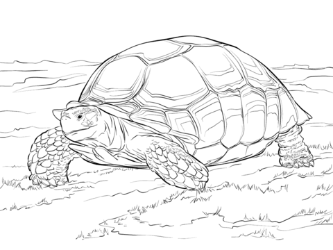 Sulcata Tortoise coloring page