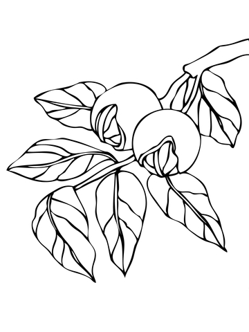 Walnut Branchlet coloring page