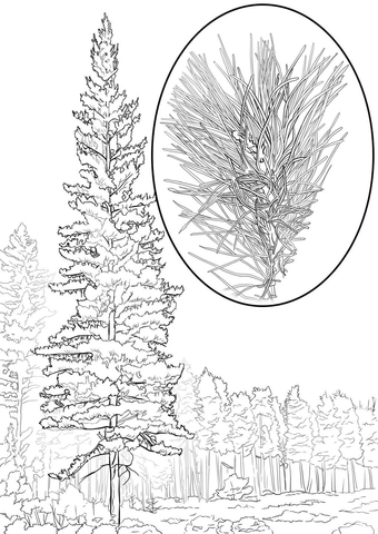 Western White Pine Pinus Monticola coloring page