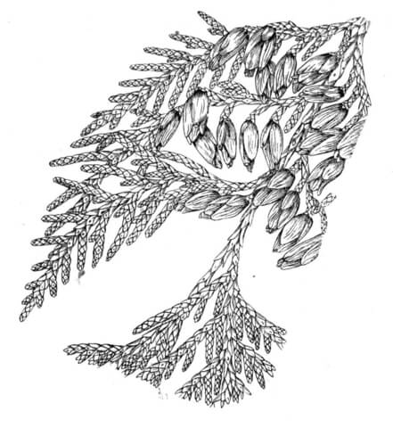 White Cedar or Arborvitae coloring page