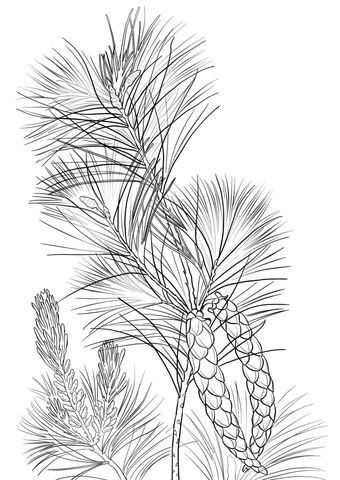 White Pine Cone and Tassel coloring page