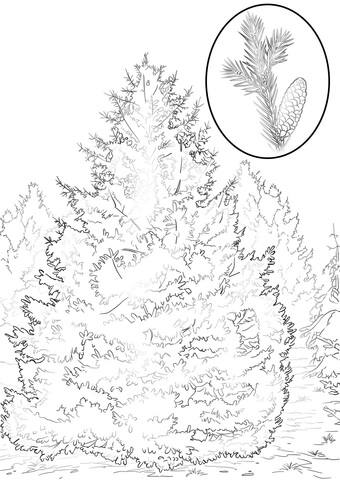 White Spruce coloring page